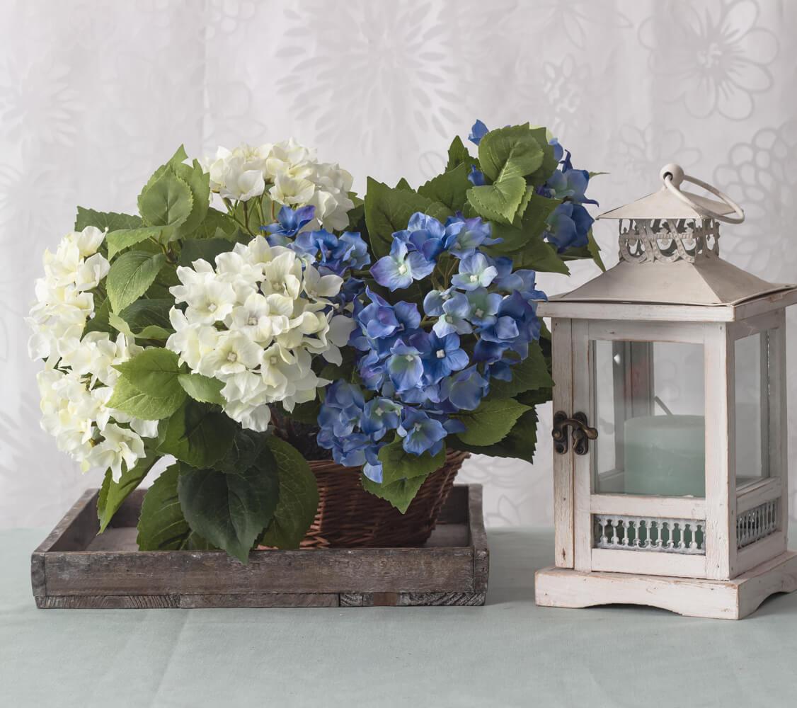 weisse-und-blaue-Hortensien